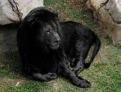 melanistic lion- opposite of an albino | Wild Animals ...