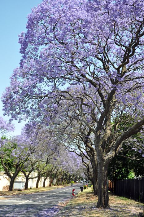 Some of the lovely Jacaranda trees that bloom in October in Pretoria. (ACPhotography)
