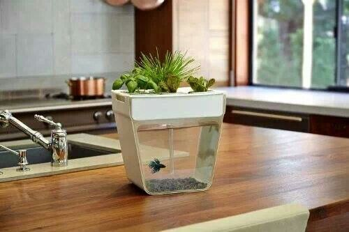 Self-maintaining ecosystem. Grows basil, lettuce, and wheat grass without chemicals. And little Mr. beta does all the work! LOVE!