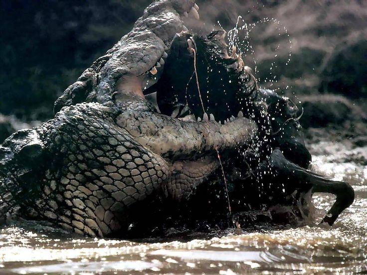 Nile Crocodile has got one of the strongest bites  Read more: http://animalstime.com/what-crocodiles-eat-crocodiles-diet/#ixzz4K8VYQWGz