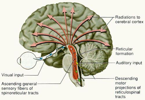 Reticular Formation - The Science of Consciousness.