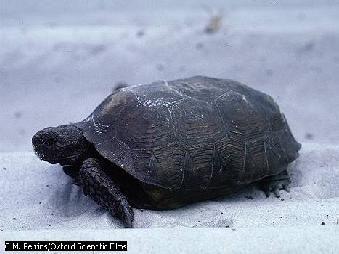Una especie de tortuga del desierto, la Gopherus polyphemus, con sus patas algo gruesas y no palmeadas, es una gran excavadora. Su madriguera, de hasta 10 m bajo tierra, ofrece a la tortuga a otros alivio contra el frío y el calor extremos. Entre otros, puede compartir su hogar con ratones, ranas del desierto, insectos, búhos excavadores, zarigüeyas o córtalos diamantinos. A veces se confunde su madriguera con la de una rata de abazones.