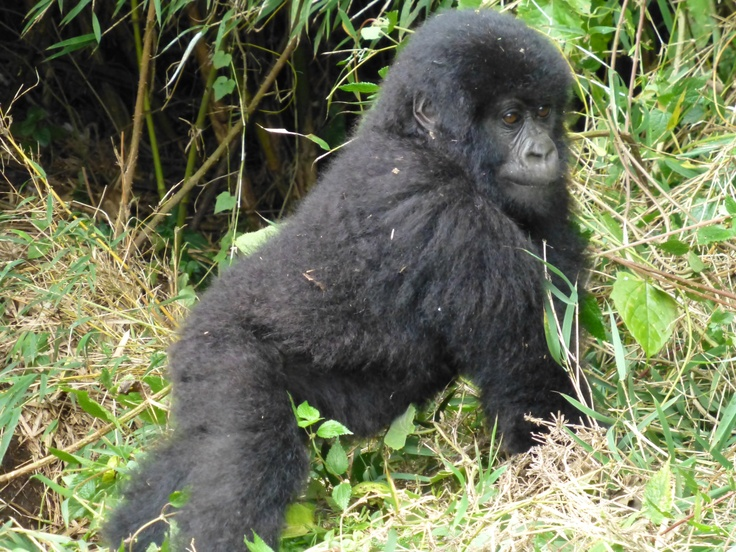 A curious baby gorilla. See more at minibeartravels.com