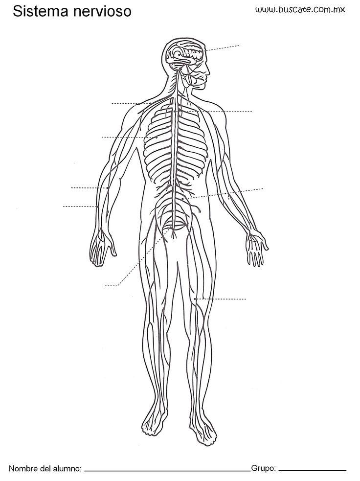 Esquema del sistema nervioso sin los nombres de sus partes. Para ...