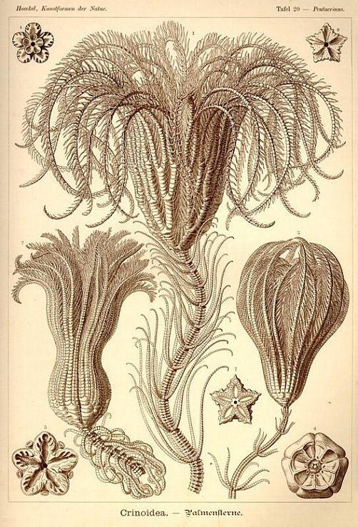 Красота форм в природе.Эрнст Геккель.2662