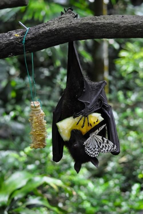 Beautiful photo:  a Malayan Flying Fox bat sharing a meal with a butterfly, from the Organization for Bat Conservation