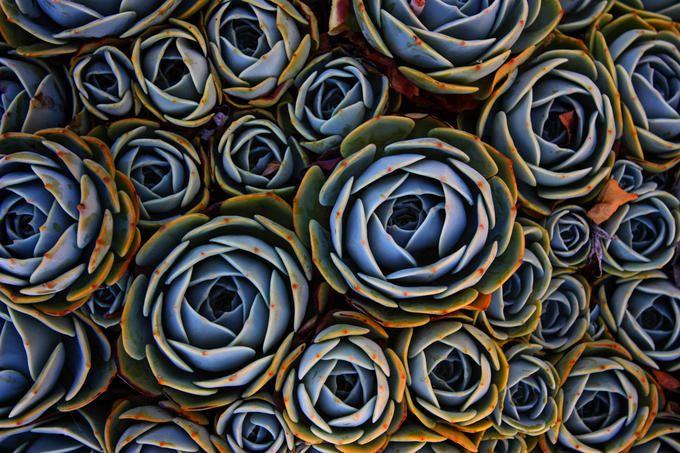 how to grow echeveria cv baron bold in brisbane