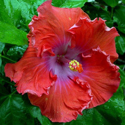 Hibiscus 'Fire Rose'