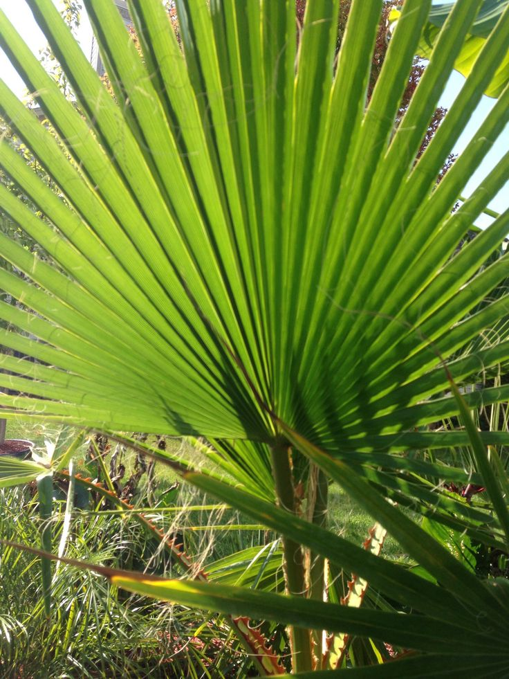 17 Best Images About Northern Palm Trees On Pinterest