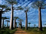 Madagascar baobab trees