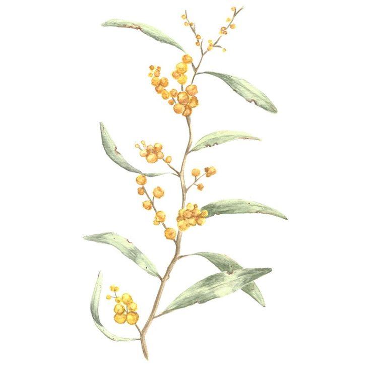 Image of [ORIGINAL] Acacia pycnantha