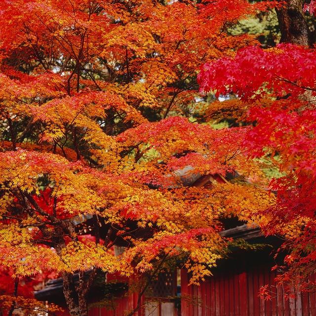 神護寺 紅葉 by Eiji Murakami, via Flickr