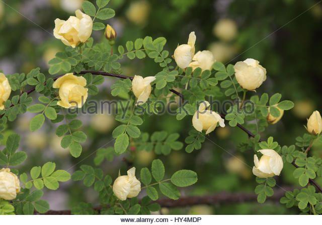 Image result for gelbe rosensorte kleinblütig