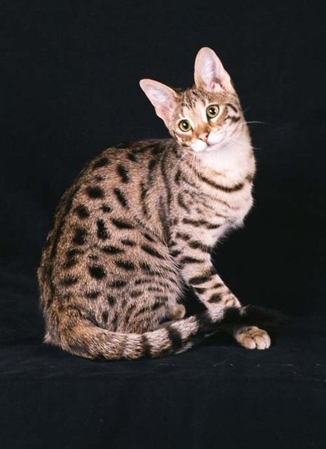 Pictures of Savannah Cat Breed