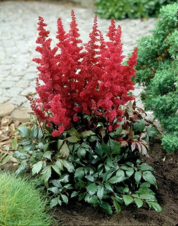 Astilbes à fleurs rouges dans le jardin ombragé