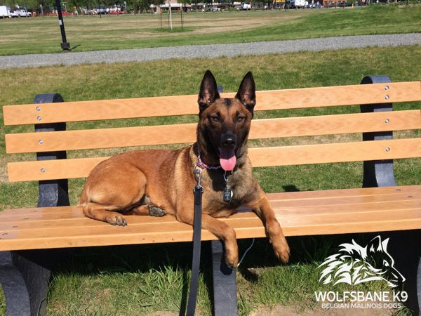 Belgian Malinois dogs for sale.