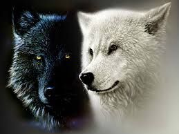 Afbeeldingsresultaat voor zwarte wolven