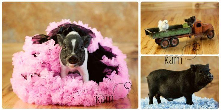 Micro Mini pigs | Teacup Pigs | Miniature Pigs