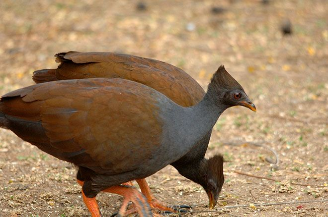 Orange-footed scrubfowl (Megapodius reinwardt) is a small megapode. This species comprises five subspecies found on many islands in Wallacea as well as southern New Guinea and northern Australia.