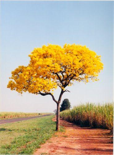 ipe amarelo