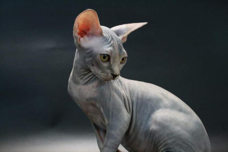 Gato Elfo: Su nombre se debe a su aspecto muy parecido a Dobby, el personaje de elfo doméstico que aparece en las películas de Harry Potter.Son una cruza entre la raza American Curl, conocidos por sus orejas curvas, y los gatos sin pelaje esfinge.