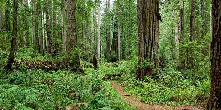 Parque Nacional Redwood y Otros Parques Estatales De Seccoyas Rojas