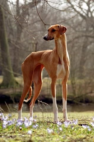 Azawakh... I don't think I've ever seen this kind of dog before but it's pretty.