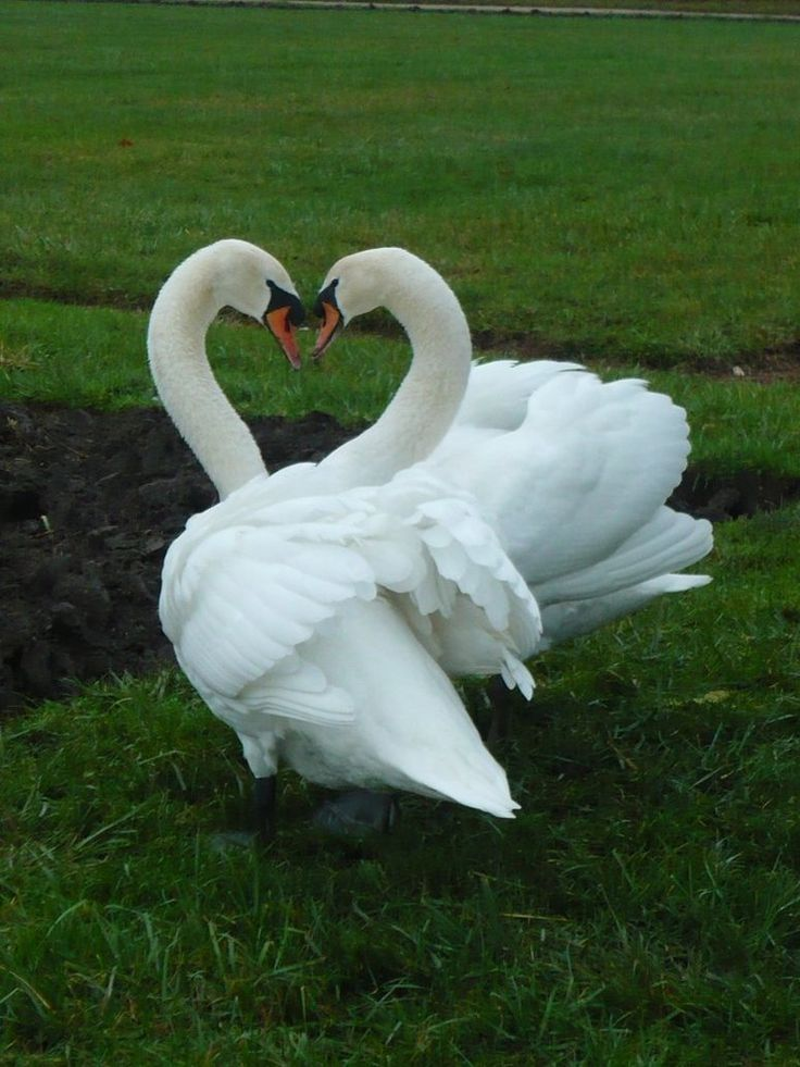 Swan love by *MargotShareaza on deviantART