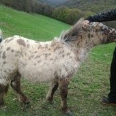 Pony appaloosa Navarra. en venta en Navarra :: Venta de Caballos. HE3186D2C