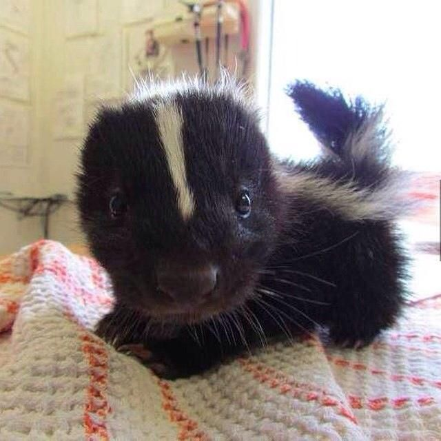 """A baby skunk is called a """"little stinker"""". Just kidding."""