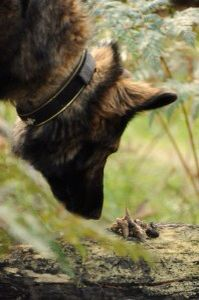 Tara the #quoll scat detection dog.