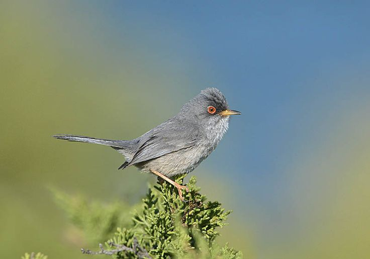 Balearic Warbler - Sylvia balearica Copyright Paul Sterry/Nature Photographers Ltd