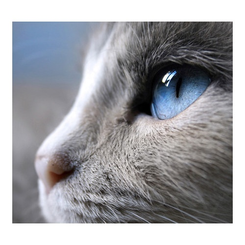 138 best Russian Blue Cats images on Pinterest | Gray cats ... Russian Blue With Green Eyes