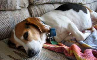 Is your dog's stomach upset? Normally dogs will eat grass to cleanse out their system - this is the natural method to cure your dog's upset stomach.