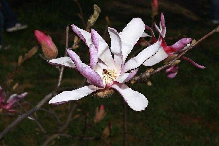 magnolia by mircea.fotograf.az