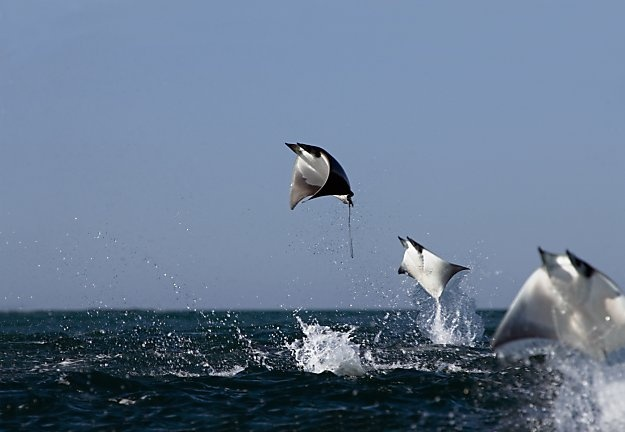 Manta Rays in the Sea of Cortes, near the threatened Cabo Pulmo.