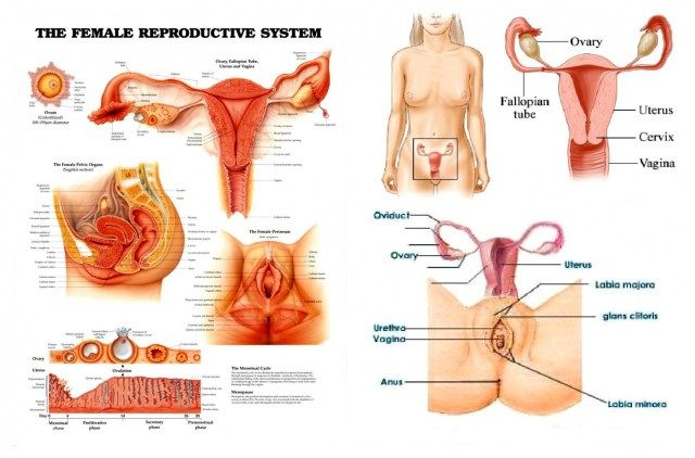 Picture Diagram Of Female Reproductive System   Picture