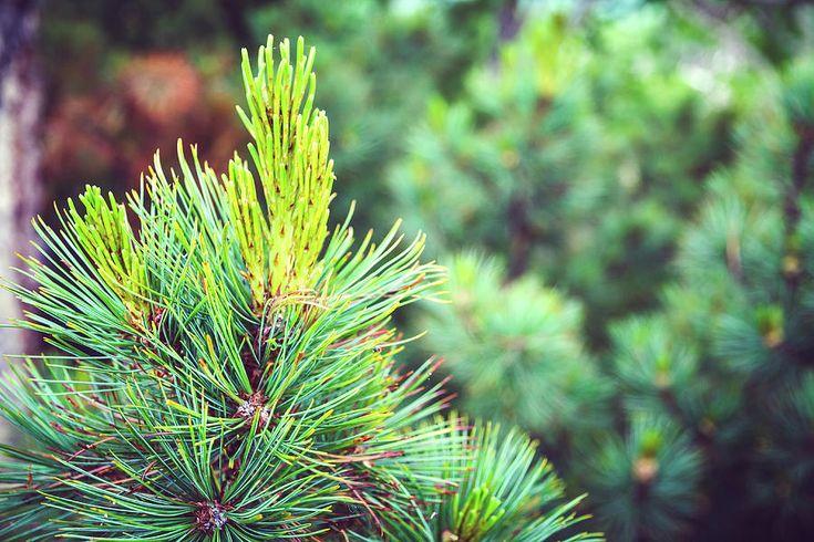 The Young Green Branch Of The Fir Tree, Kamchatka, Russia Photograph by Nadezhda Tikhaia  #NadezhdaTikhaiaFineArtPhotography #ArtForHome #HomeDecor #Green #InteriorDesign #FineArtPrints