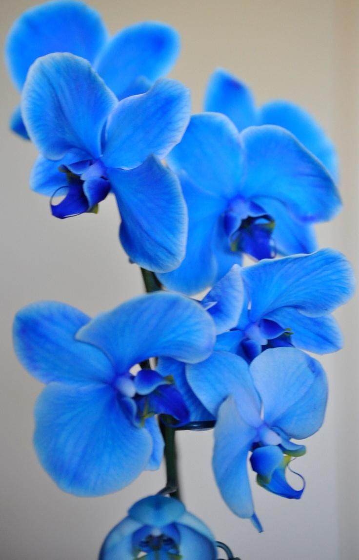 Orquídeas azuis...