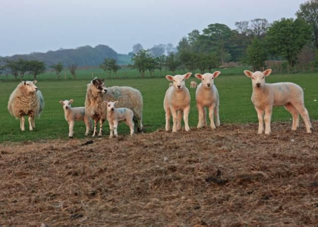 The lambs on the farm arrived all safe and well this year. Ryehill Farm, Northumberland.