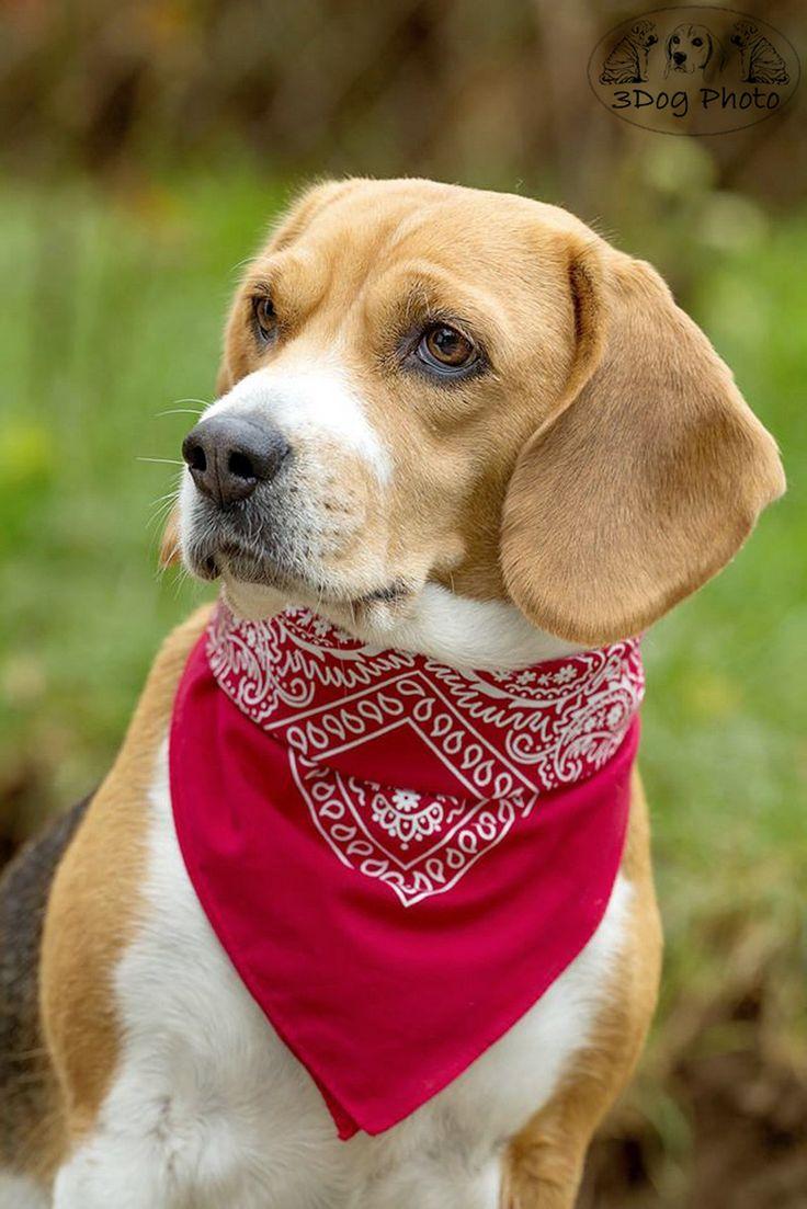 Beagle And A Red Bandana Zoo Dressed Pets Dogs Dog