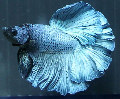 103 best images about bettas on pinterest copper for Ebay betta fish