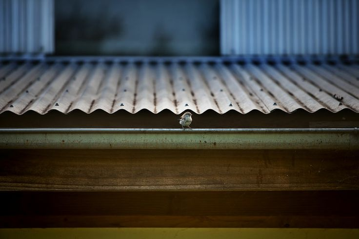 A bird drinking from the gutters on the Woolshed, Strathnairn Arts