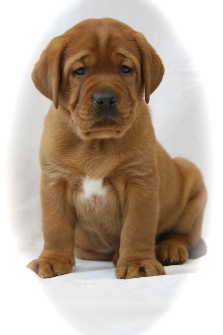 American Labrador Puppies For Sale California References