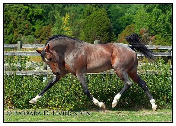 Roan Standardbred stallion, Tap In. Tap In- roan  1992 Standardbred (Armbro Goal x Oh Kentucky, Arnie Almahurst )Bred by Castleton Farm, Lexington, Kentucky, USA. Imported to Sweden 1996. 1.11,5a 3.787,696 SEK 36(18-8-2) Roan color is from the dam