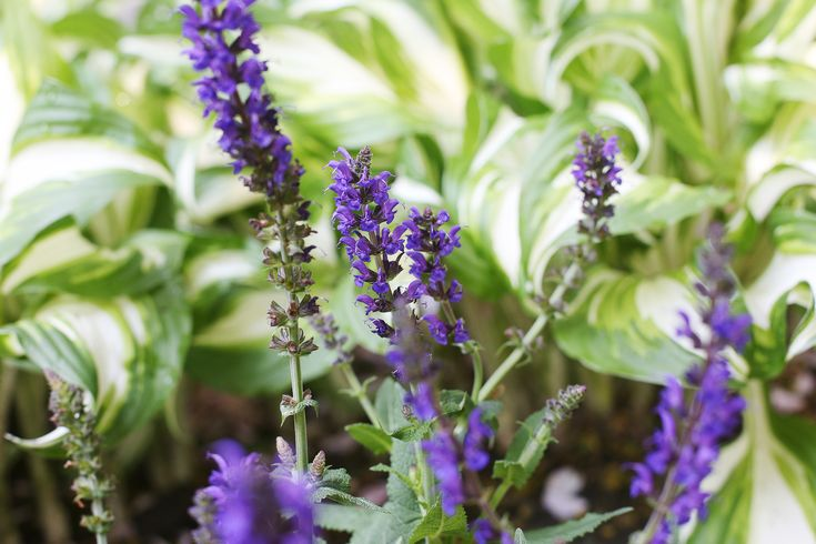 How to Care for Purple Salvia