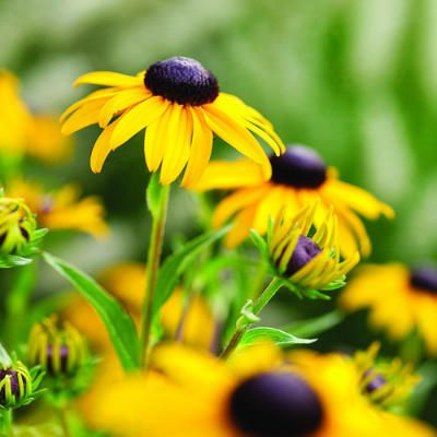 One of the 20 favorite perennial flowers from Sunset magazine The 'Gloriosa' daisy