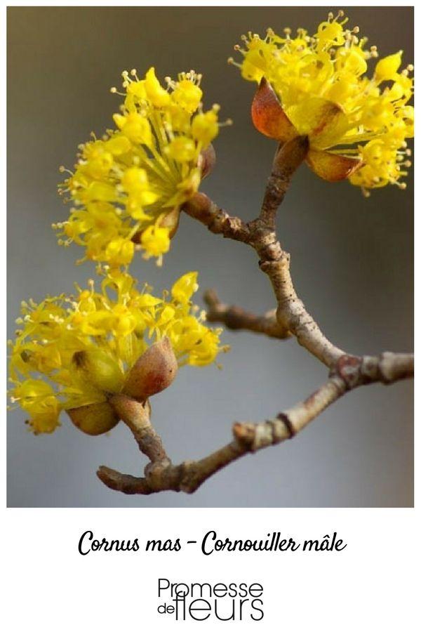 Floraison précoce du Cornus mas
