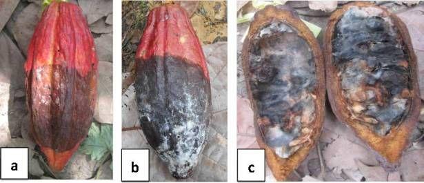 Gejala serangan busuk buah kakao: (a) gejala awal, bercak cokelat kehitaman, (b) gejala lanjut, seluruh daging buah berwarna cokelat kehitaman dan permukaannya ditumbuhi hifa jamur, dan (c) biji membusuk (Foto: Rita Harni)