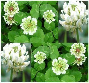 146 best micro clover images on pinterest clover lawn backyard ideas and garden ideas. Black Bedroom Furniture Sets. Home Design Ideas